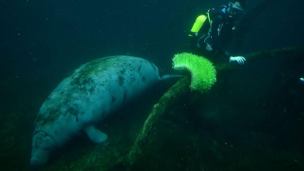 Plongeur qui nourrit les lamantins © MNHN - F-G Grandin