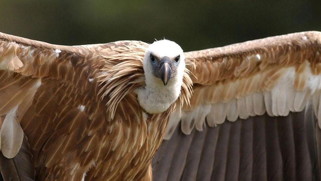 Le vautour fauve © MNHN - F-G Grandin