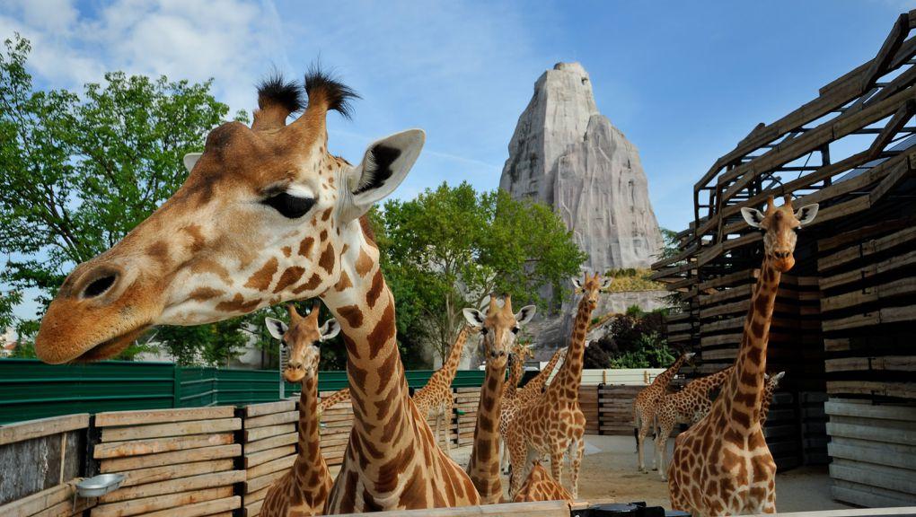 L'enclos des girafes © MNHN - F-G Grandin
