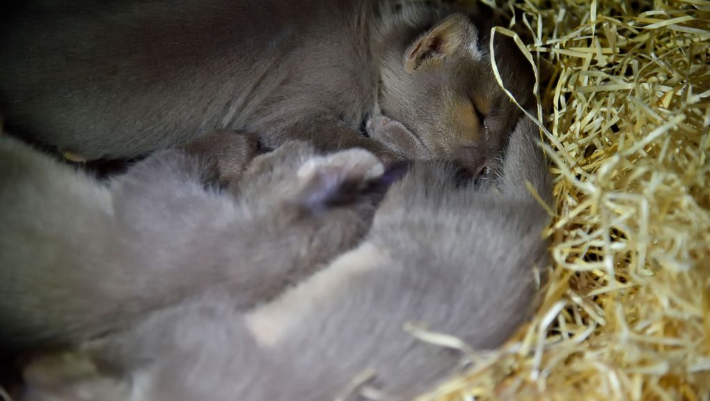 Jeunes fossas en pleine sieste dans leur tanière © MNHN - F-G Grandin