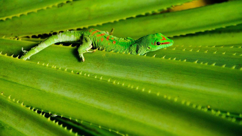 Phelsuma ou gecko diurne de Madagascar © MNHN - F.-G. Grandin