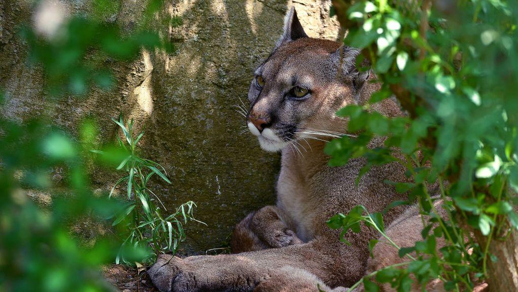 Puma © MNHN - F.-G. Grandin