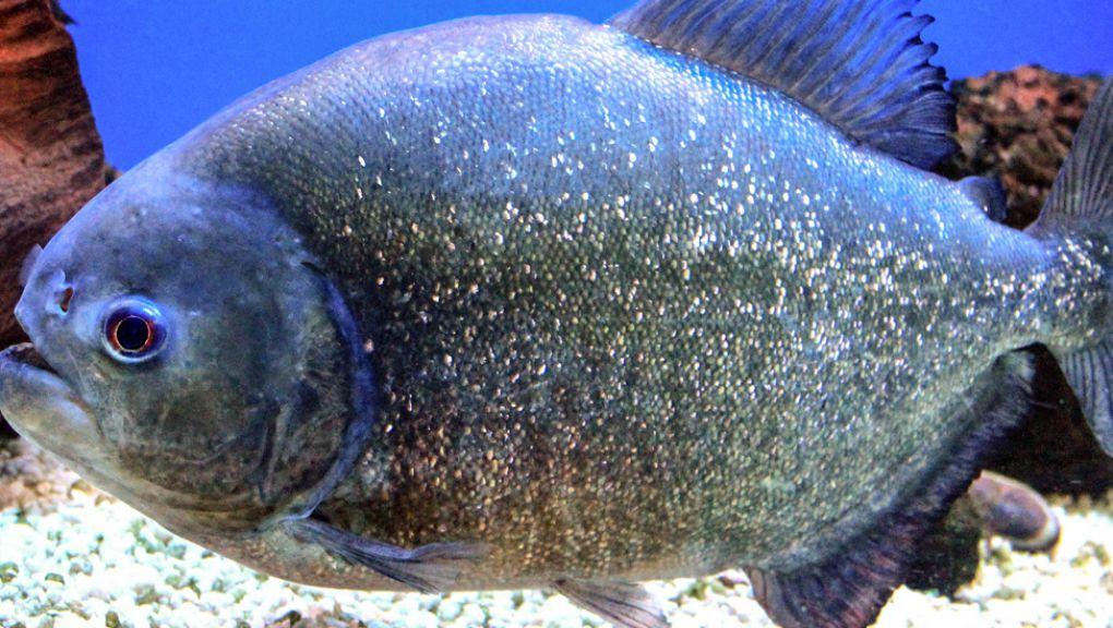 Piranha © Wikimedia commons - Karelj