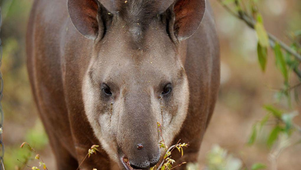 Quida le tapir © MNHN - François-Gilles Grandin
