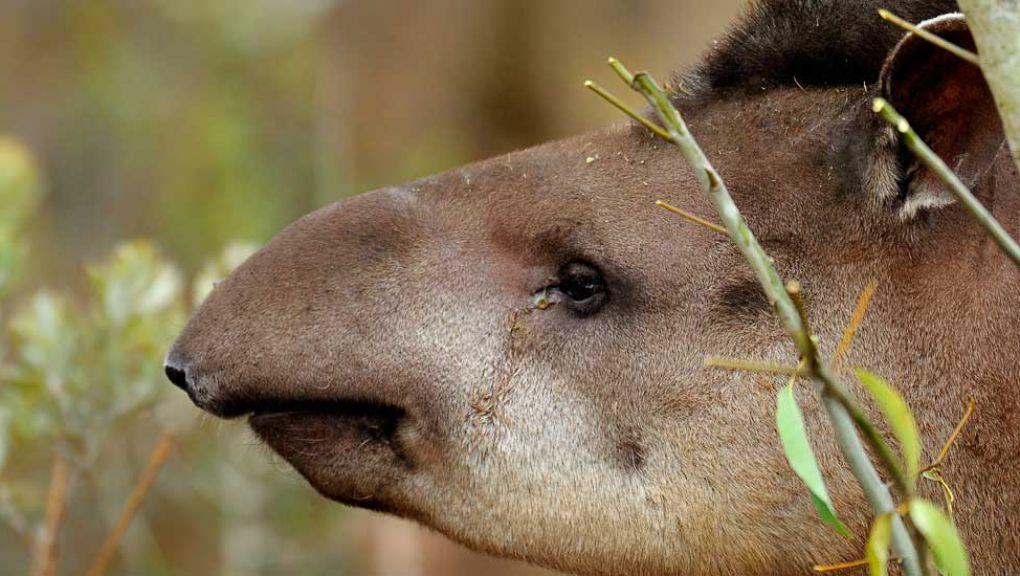 Quida, le tapir © MNHN - F-G Grandin