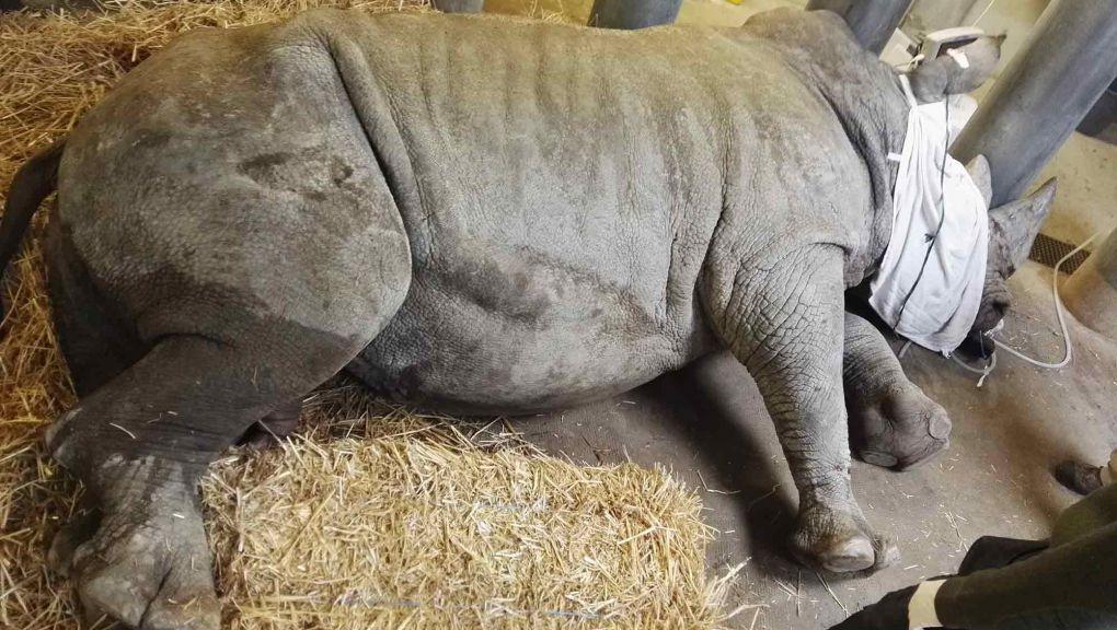 Soins vétérinaires du rhinocéros blanc, Parc zoologique de Paris © MNHN – Alexandre Necha