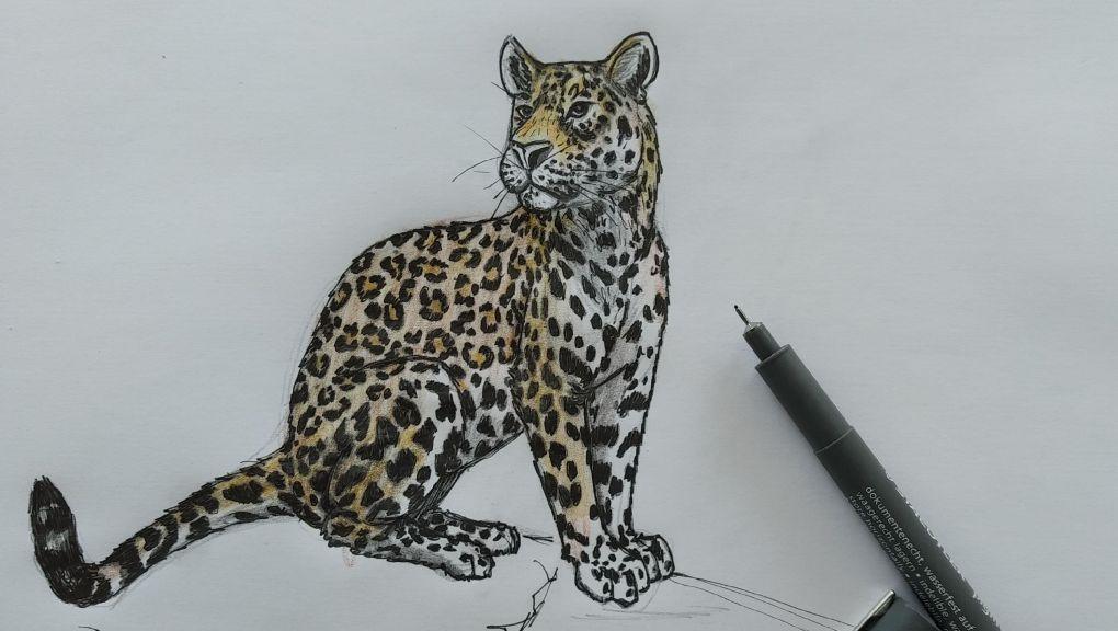 Tutoriel dessin jaguar © MNHN - Simon Emeriau