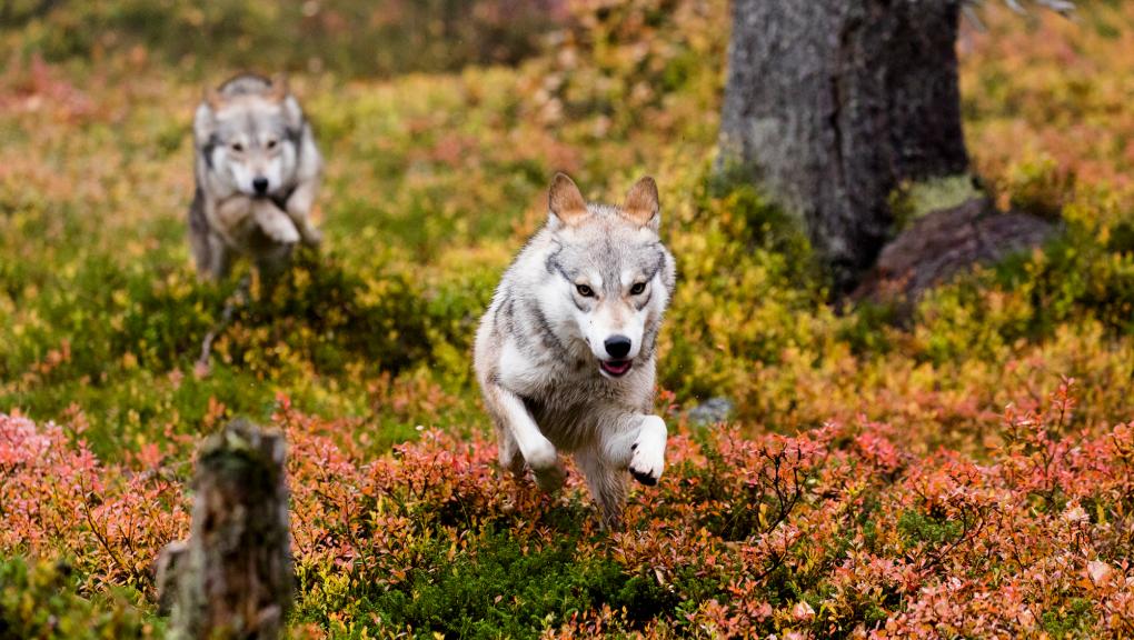 Aïlo : une odyssée en Laponie © Borsalino Productions – Gaumont – MRP Matila Rohr Productions