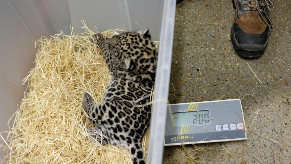 Examen médical des jeunes jaguars nés le 7 juillet 2018