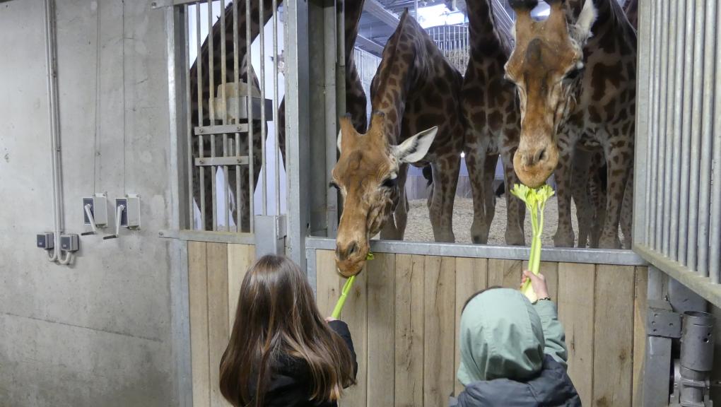 """Les gagnants du jeu """"Une nuit au zoo"""" ont eu la chance de nourrir les girafes © MNHN – C. Duwicquet"""