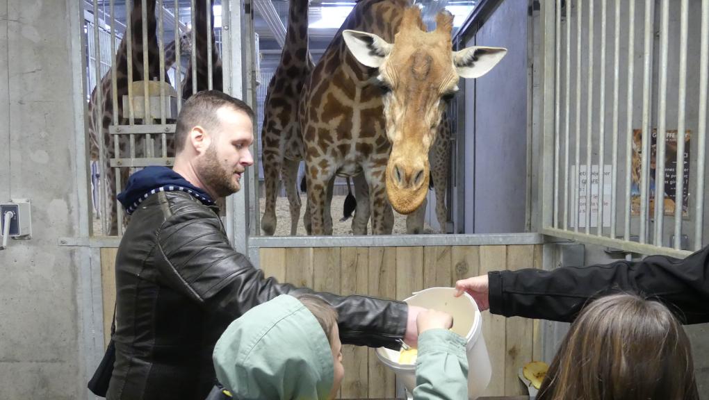 """Nourrissage des girafes par les gagnants du jeu """"Une nuit au zoo"""" © MNHN – C. Duwicquet"""