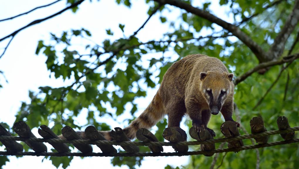 Coatis roux © MNHN – F-G. Grandin