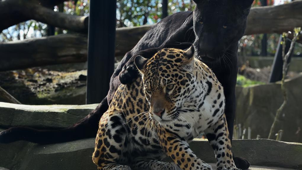 Aramis et Simara - Jaguars