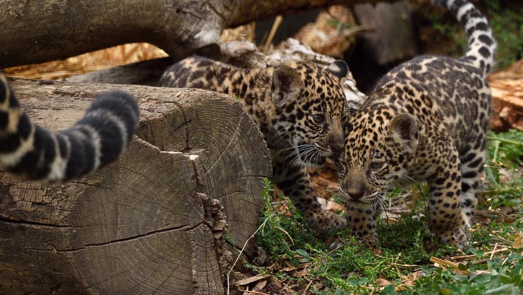 Jeunes jaguars