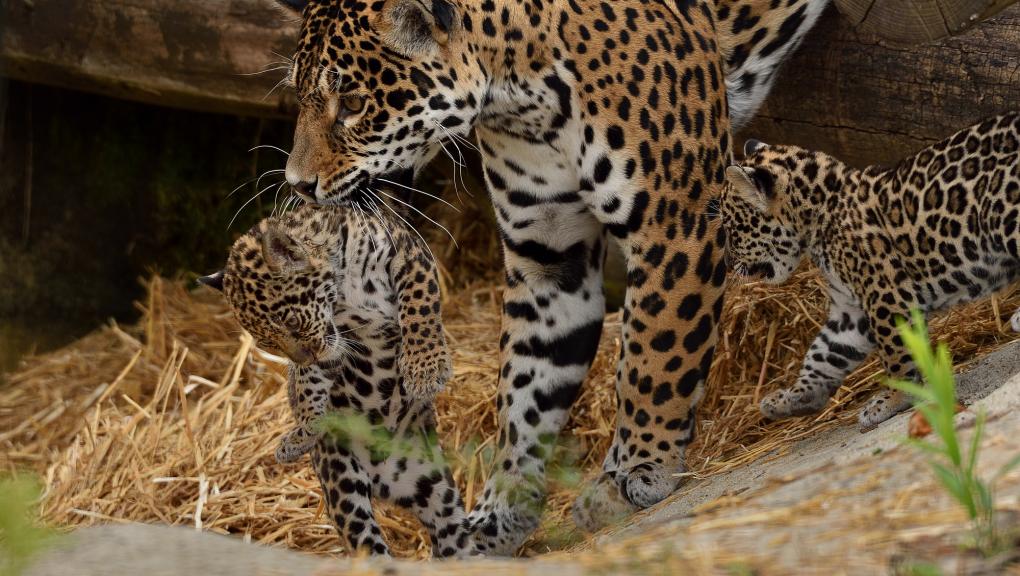 Simara et ses 2 petits - Jaguars