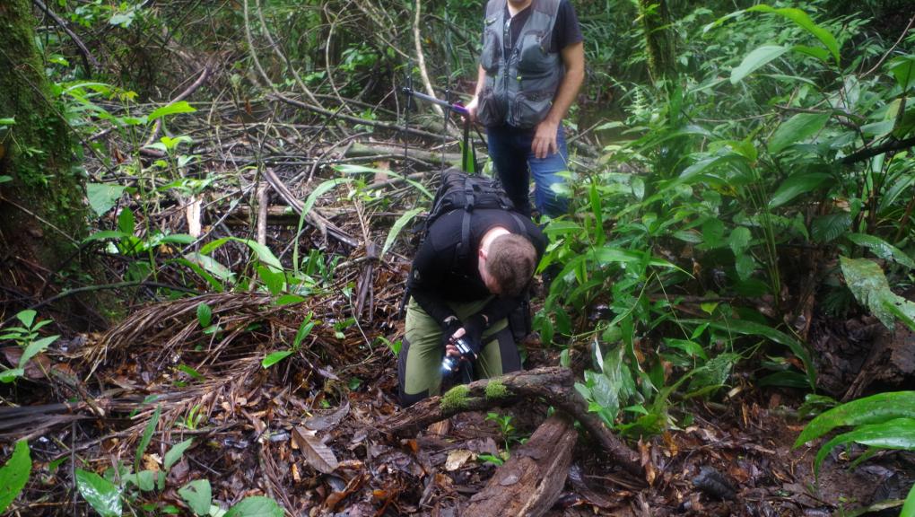 Olivier Marquis cherche les caïmans nains qui ont tendance à se cacher sous terre © MNHN – O. Marquis