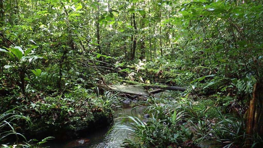 En plein cœur de la Réserve naturelle des Nouragues © MNHN – O. Marquis