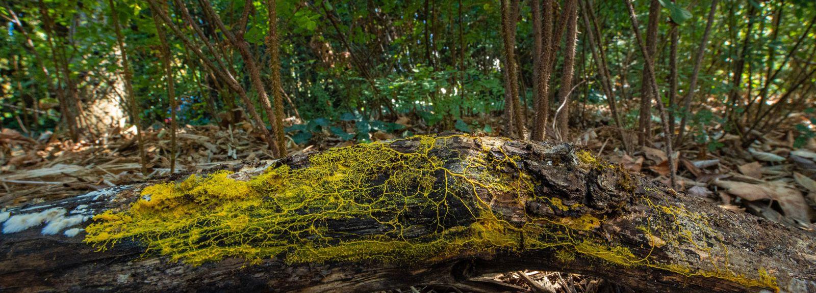 Blob sur un tronc d'arbre © MNHN - F.-G. Grandin