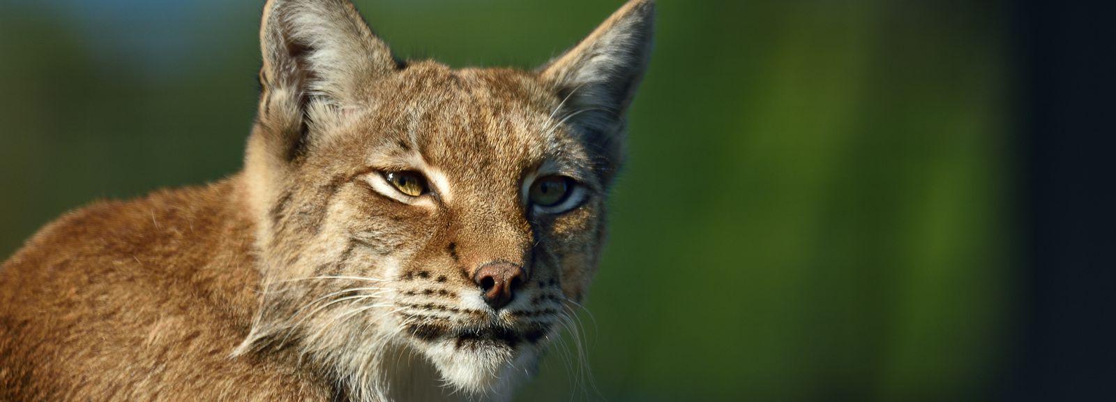 Le lynx de Scandinavie au zoo © MNHN - F G. Grandin