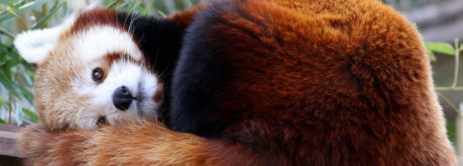 Panda roux © MNHN - E. Baril