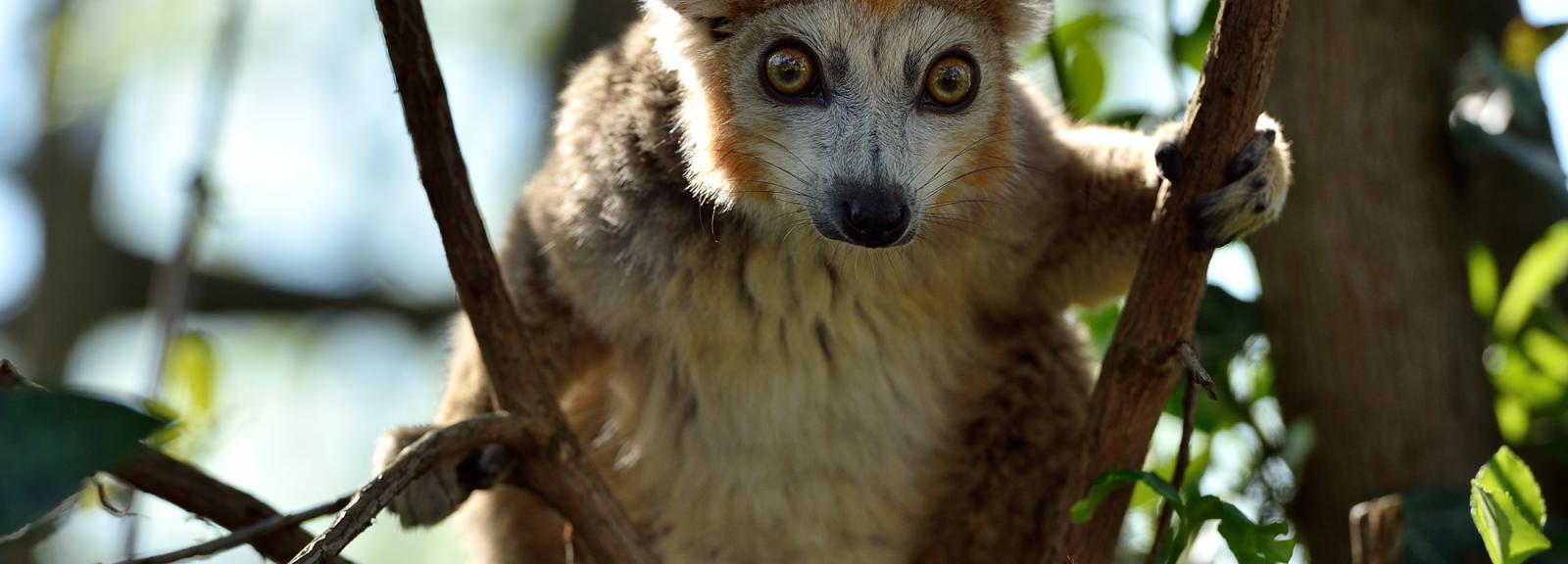Lémur couronné © MNHN – F-G. Grandin