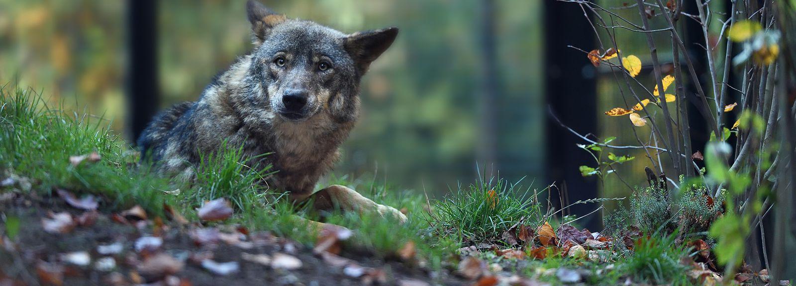 Loup ibérique © MNHN - F-G Grandin