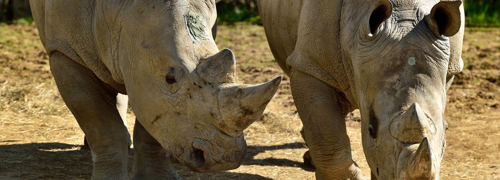 Rhinocéros blancs © MNHN - F-G Grandin