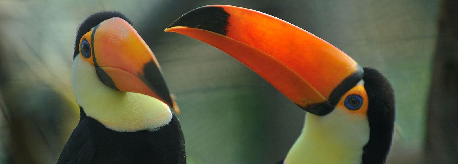 Toucan toco, Ramphastos toco © F-G Grandin - MNHN