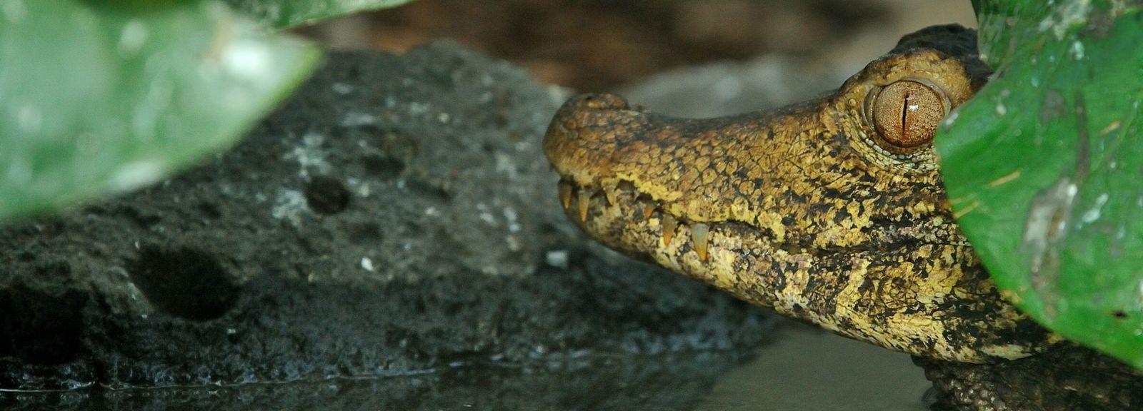 Caïman nain de Cuvier © MNHN - F-G Grandin