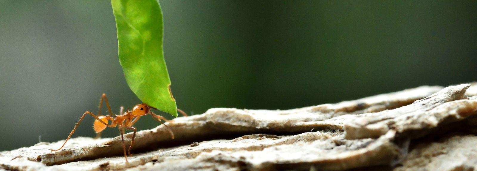 Fourmis Atta © MNHN - F. G Grandin