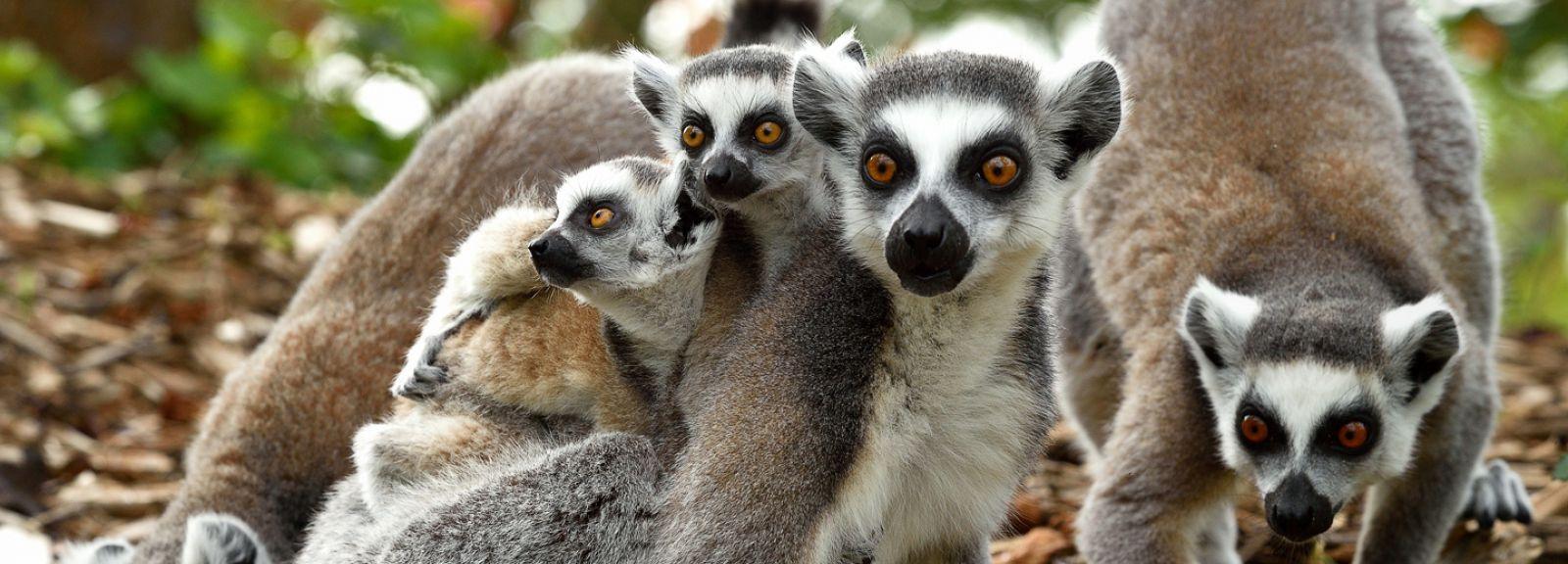 Femelle Maki Catta avec ses petits © MNHN - F-G Grandin
