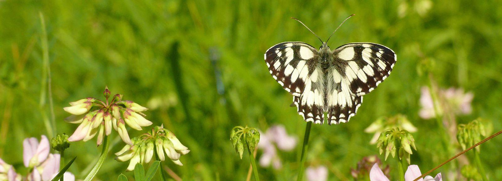 Papillon Demi-Deuil, Melanargia galathea (Linnaeus, 1758) © MNHN / SPN - Renaud Puissauve