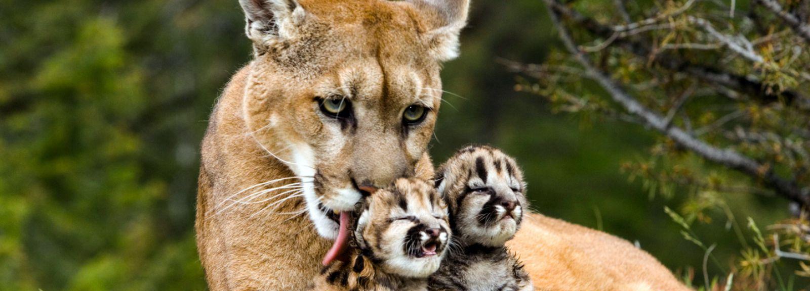 Puma, femelle et jeunes âgés de 1 semaine, Montagnes Rocheuses - USA © PlanetNoé - J-L Klein & M-L Hubert