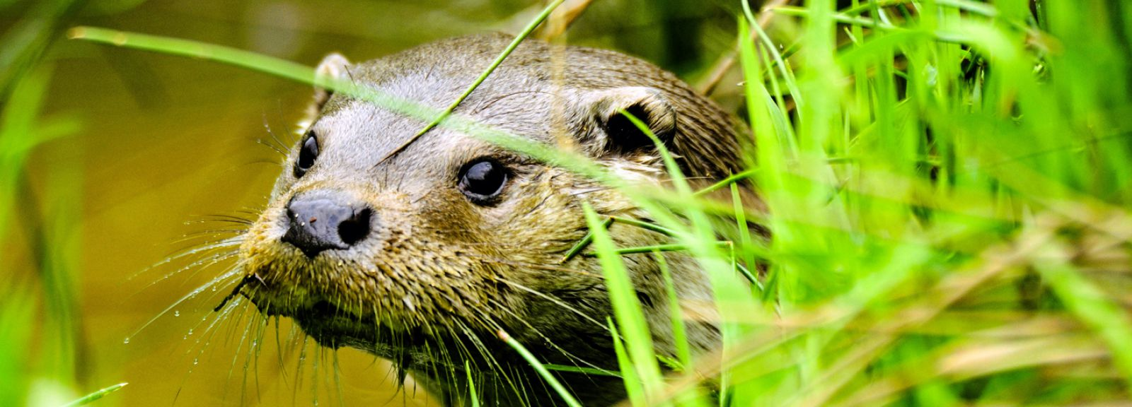 Loutre d'Europe, Angleterre © PlanetNoé - Pierre Vernay