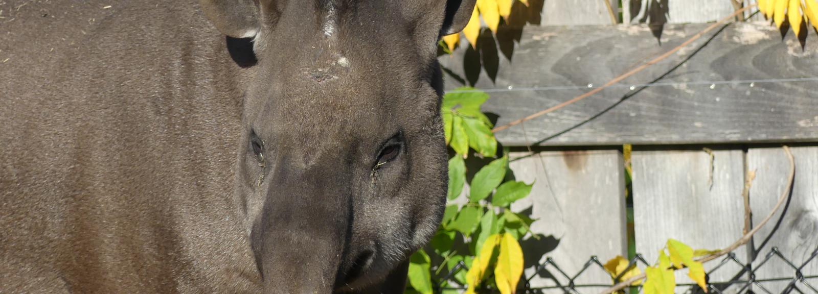 Eywa, femelle tapir