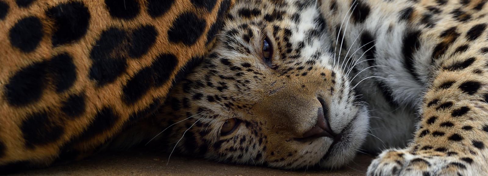 Lenca, jeune femelle jaguar née le 7 juillet 2018 © MNHN – F-G. Grandin
