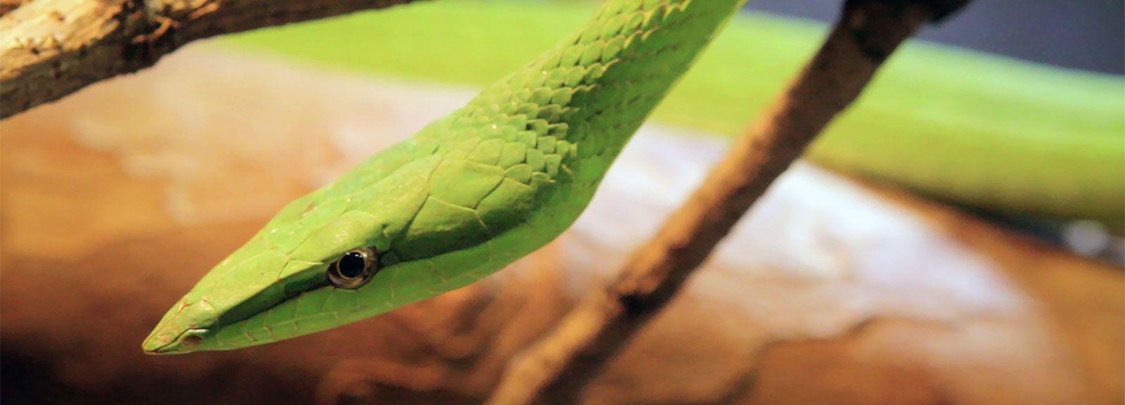 Serpent liane © Charles Rostand