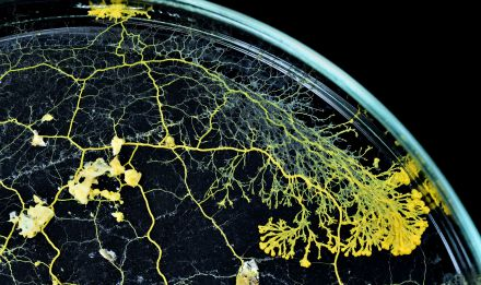 Blob (Physarum polycephalum) © MNHN - F.-G. Grandin