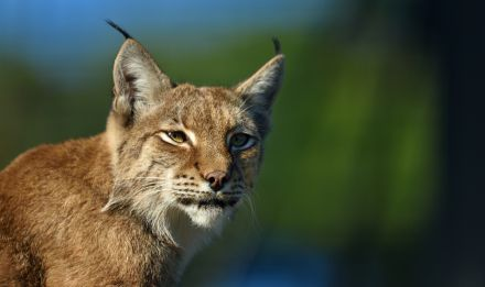 Lynx © MNHN - F G. Grandin