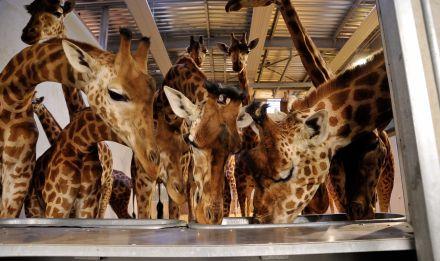 Girafes d'Afrique de l'Ouest © MNHN – F-G. Grandin