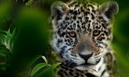 Jeune jaguar © MNHN – F-G. Grandin