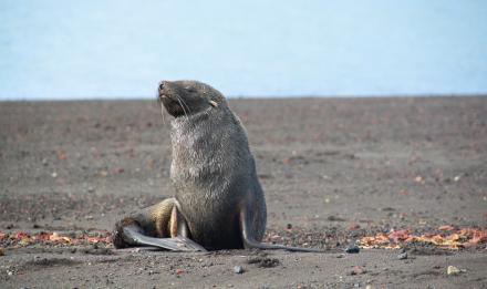 Otarie à fourrure australe © MNHN - B. David