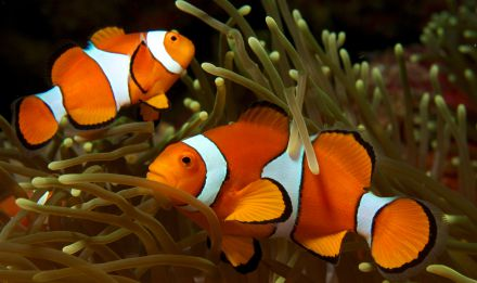 Amphiprion ocellaris - Nick Hobgood [CC BY-SA 3.0]