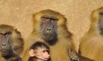 Babouins de Guinée © MNHN - F-G Grandin