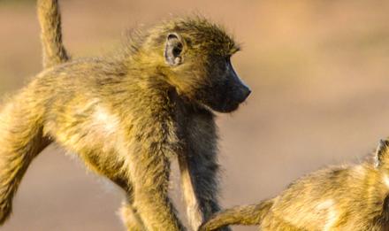 Jeunes babouins chacma jouant © J-L Klein & M.-L Hubert - PlanetNoé