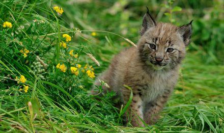 Bébé lynx © F-G Grandin - MNHN