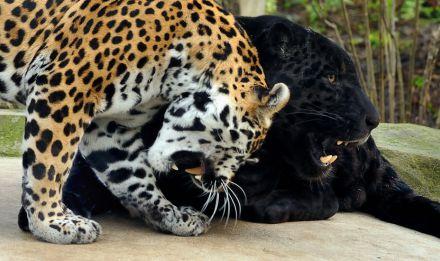 Les jaguars © Marvin Cellier sous la direction de F-G Grandin - MNHN