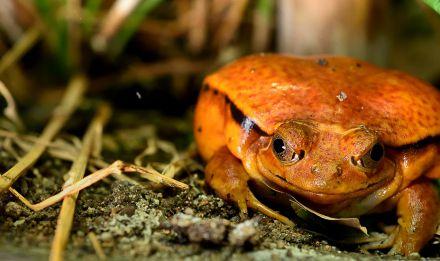 La grenouille tomate Dyscophus guineti © MNHN - F-G Grandin
