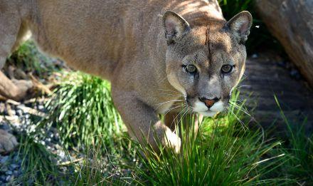 Puma © F Grandin - MNHN