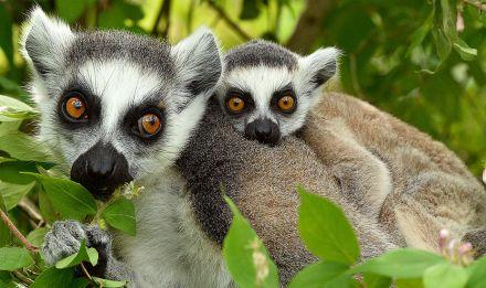 Maki catta, Lemur catta © F-G Grandin - MNHN